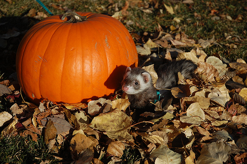 autumn-ferret